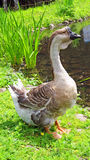 Swan goose Royalty Free Stock Photos