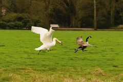 Swan and goose. stock photo