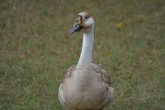 Swan goose with blue eyes. India Stock Photos