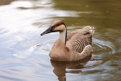 Swan goose called Anser cygnoides Stock Image