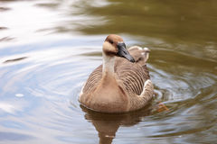 Swan goose called Anser cygnoides Royalty Free Stock Photography