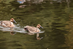Swan goose called Anser cygnoides Stock Images