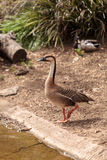 Swan goose called Anser cygnoides Stock Photography