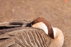 Swan goose called Anser cygnoides Royalty Free Stock Images
