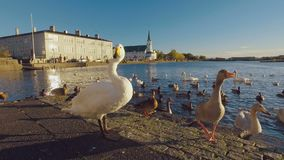 Swan and goose are catching pieces of bread, wich people throw for them, on a lake in Reykjavik stock footage