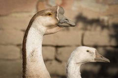 Swan goose , close up Stock Images