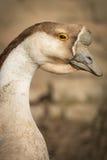 Swan goose , close up Stock Photo