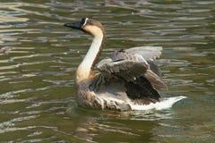 Swan goose Stock Photo