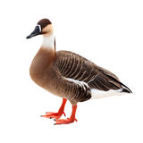 Swan Goose.  Isolated over white Royalty Free Stock Photography