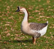 The swan goose lat. Anser cygnoides royalty free stock image