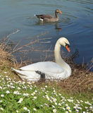 Swan and goose Royalty Free Stock Images