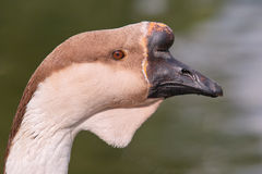 Swan goose, portrait Stock Photo