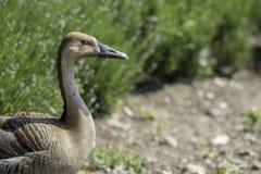Swan goose. Rare wild goose in profile with copy space. Stock Photos