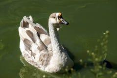 Swan goose semi profile. In lake waters Royalty Free Stock Photos