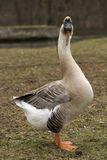 Swan Goose Staring Royalty Free Stock Photography