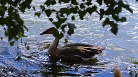 Swan goose on water. Swan goose or Anser cygnoides is cleaning its plumage on water stock video