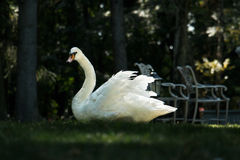 Swan grace. White swan on the dark background Royalty Free Stock Photo