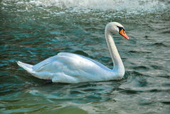 Swan. Graceful Swan on a lake Royalty Free Stock Photo