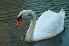 Swan. Graceful white swan floats on water royalty free stock images