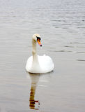 Swan Royalty Free Stock Photos