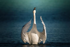 Swan gracefully flapping his wings Stock Photography