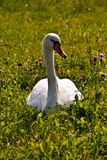Swan on grass Royalty Free Stock Image