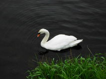 Swan with grass Royalty Free Stock Photos