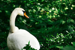 Swan in grass Stock Photos