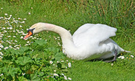 Swan in the grass Royalty Free Stock Photo