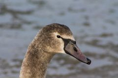 Swan gray bird portrait Stock Photography