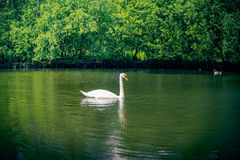 Swan in green nature Royalty Free Stock Image
