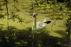 Swan in a green pond royalty free stock photo