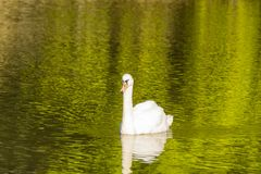 Swan on green river day time photography Stock Photos
