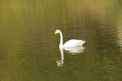 Swan on green river day time photography Royalty Free Stock Image