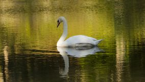 Swan on green river day time photography Stock Images