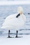 Swan grooming himself Stock Photography