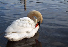 Swan Grooming Its Feathers. A swan meticulously maintaining its beautiful white feathers Royalty Free Stock Image