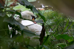 Swan grooming itself in the bushes. Swan grooming itself on land Royalty Free Stock Photo