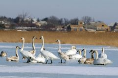 Swan, a group of birds on ice Royalty Free Stock Photos