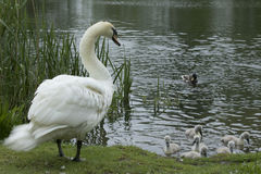 Swan. Guarding it`s cygnet`s at side of lake Royalty Free Stock Image
