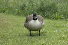 Canada Goose.  Royalty Free Stock Image