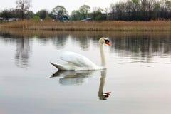 Swan H?rlig svan p? vattnet h?rlig f?gel arkivbilder