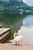 Swan on the Hallstatt lake in Austria Royalty Free Stock Photos