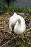 Swan during the hatching Stock Photography