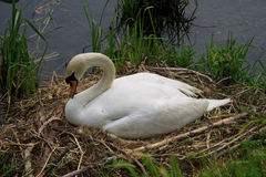 Swan during the hatching. On the river Adda stock photos