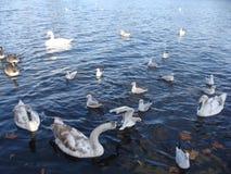 Swan having a picnic Stock Photos