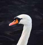 Swan Head Royalty Free Stock Image