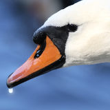 Swan head. On blue water background Royalty Free Stock Image