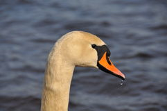 Swan head Royalty Free Stock Photo