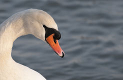 Swan head Royalty Free Stock Photography